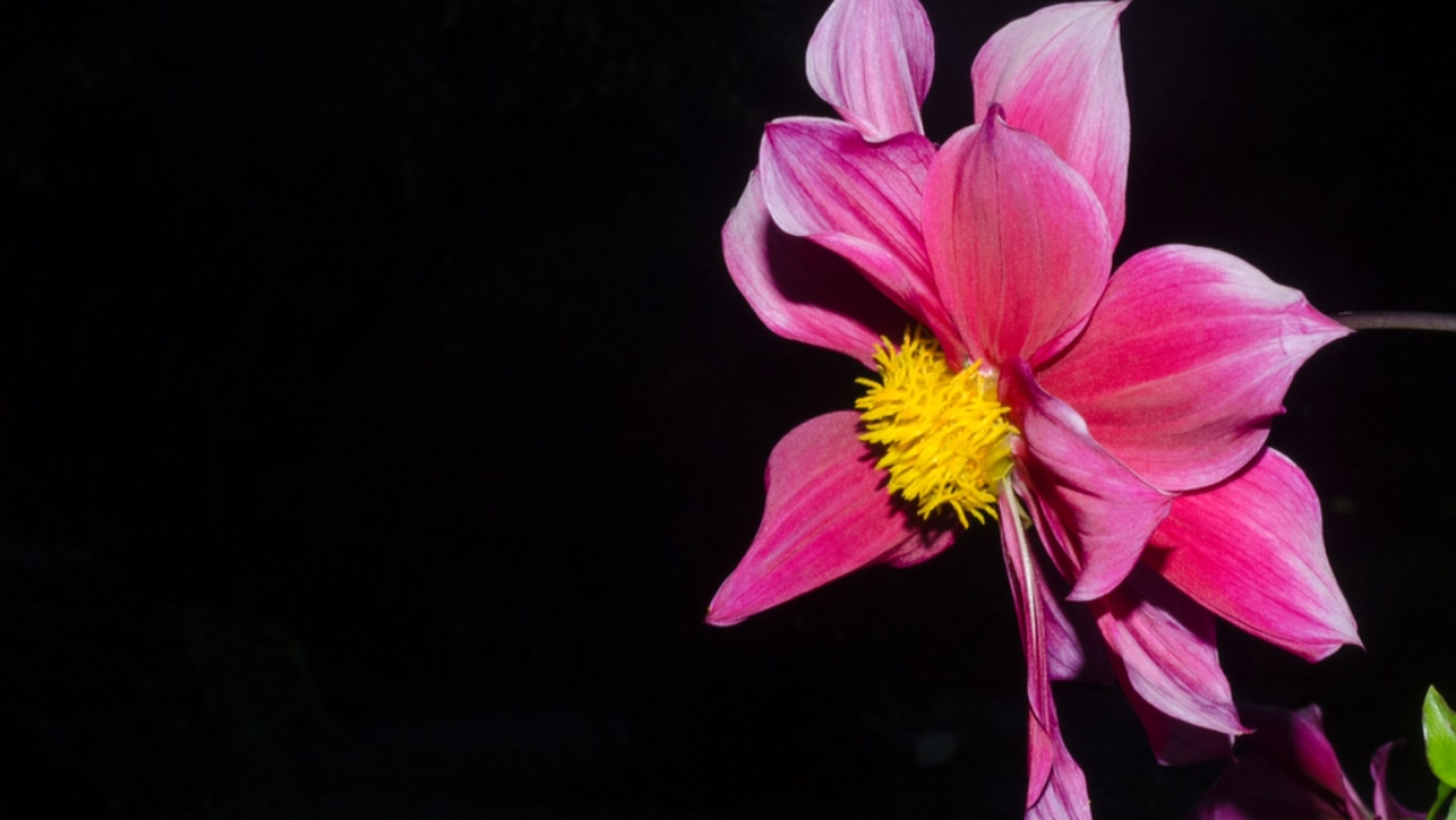 flower, petal, freshness, fragility, flower head, one animal, beauty in nature, animal themes, close-up, nature, studio shot, copy space, insect, pink color, growth, black background, stem, focus on foreground, wildlife, blooming