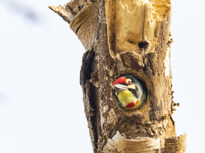 Coppersmith Barbet (Megalaima haemacephala) peeking out a hole in a tree Tree Trunk Trunk Wood - Material No People Tree Bird Close-up Nature One Animal Vertebrate Day Art And Craft Animal Animals In The Wild Outdoors Animal Themes Craft Creativity Animal Wildlife Focus On Foreground