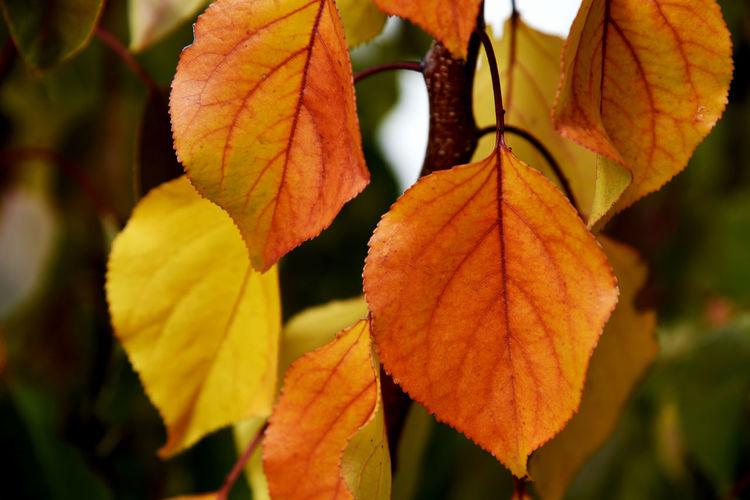 Orange autumn apricot leaves Leaf Autumn Change Tree Branch Fruit Close-up Leaf Vein Leaves Plant Life