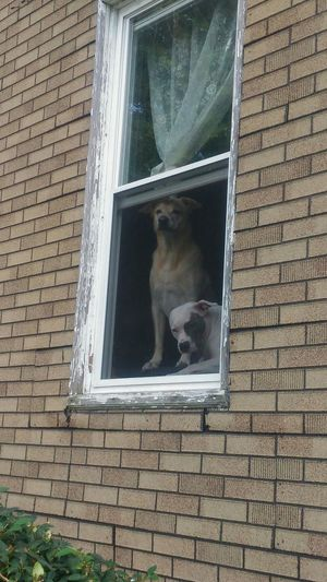 dogs view Pets Dogs Watching The World Go By Canine Watch Dog Watch Dogs Pit Bull Terrier Labrador Retriever Window Watchers Pet Photography  Apartment Apartment Living... Guard Dogs Architecture