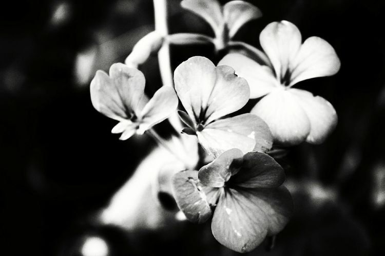 Flower Nature Beauty In Nature Flower Head Close-up Blossom No People Blackandwhite Black And White Photography Beautiful