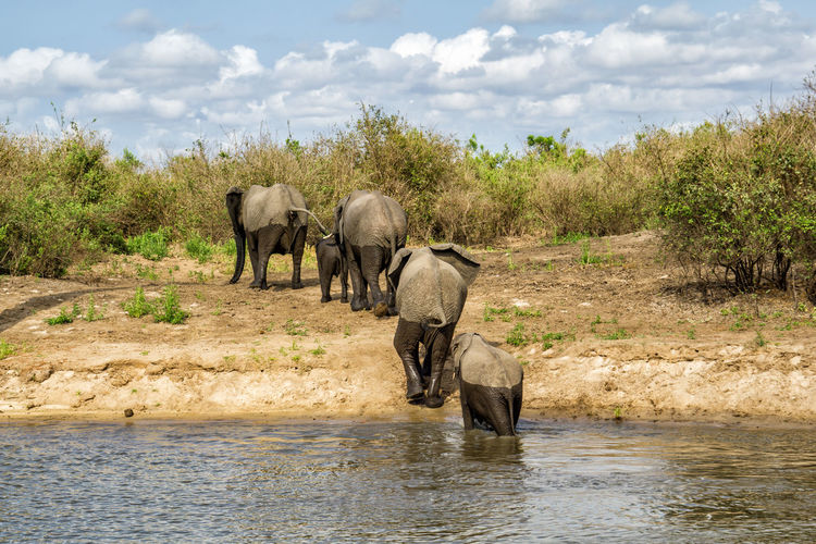 Elephants crossed a river in Selous National Park Animal Animal Themes Mammal Water Group Of Animals Elephant Animals In The Wild Animal Wildlife Nature Vertebrate Plant No People Safari Tree Waterfront Day Cloud - Sky Sky African Elephant Drinking Outdoors Animal Family Herbivorous Tanzania National Park Selous