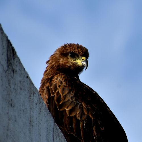 Low angle view of a black kite against sky