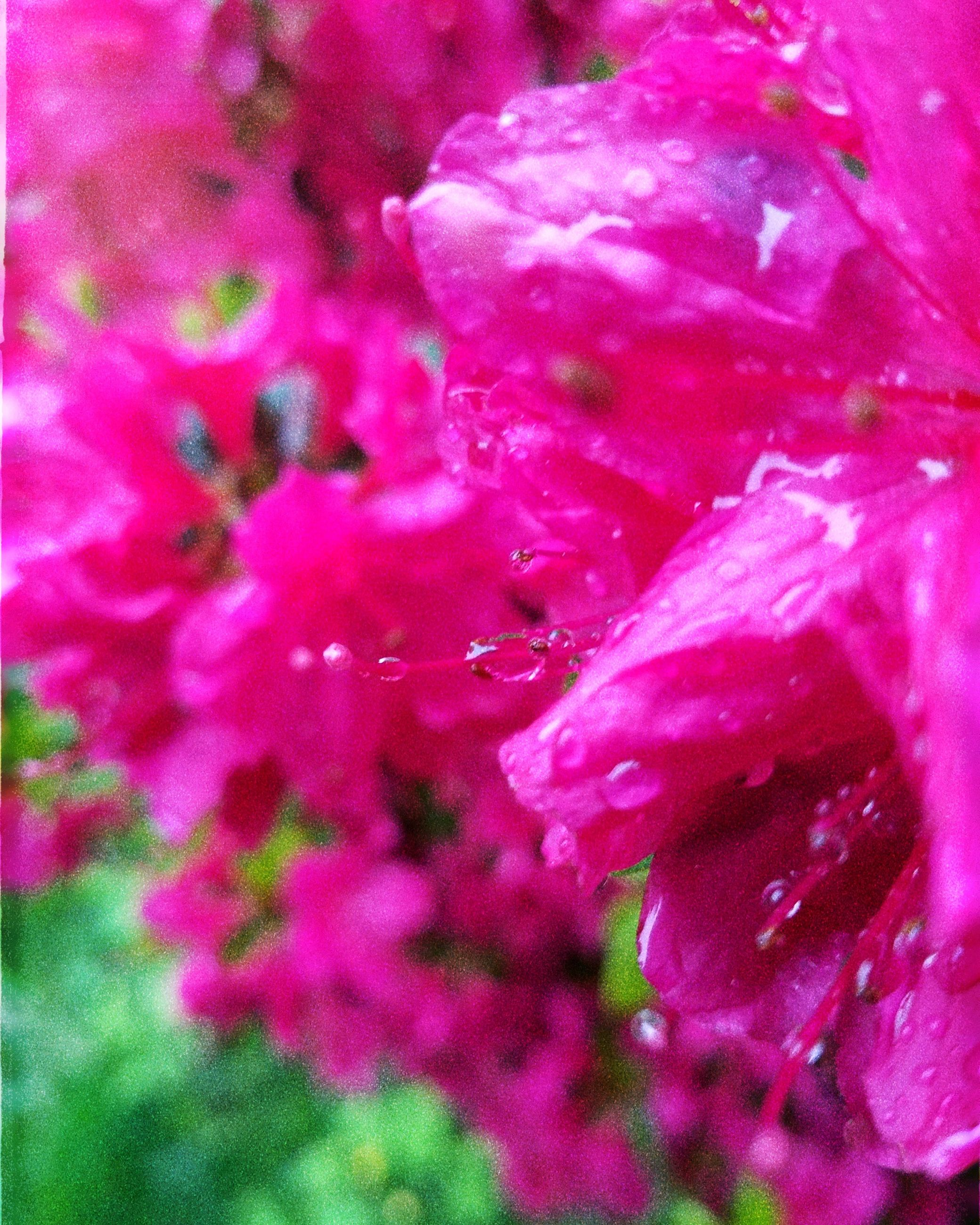 flower, flowering plant, freshness, growth, plant, pink color, petal, fragility, beauty in nature, vulnerability, close-up, inflorescence, no people, flower head, nature, full frame, backgrounds, day, selective focus, outdoors, springtime, pollen, raindrop, dew, purple