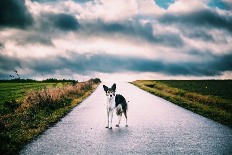 Border collie on road amidst field against cloudy sky