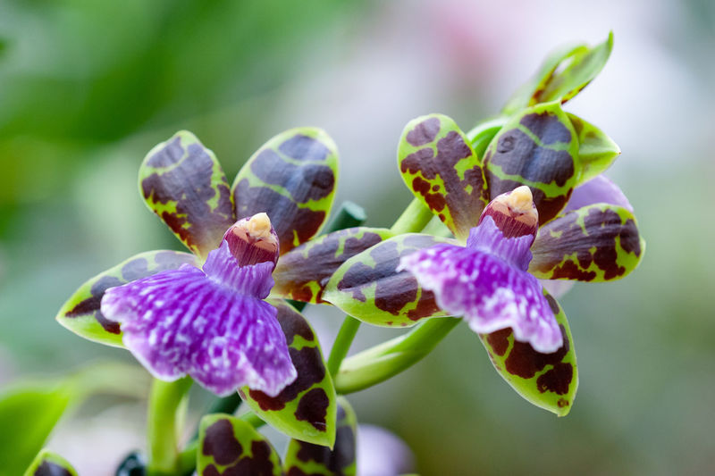 Flower Flowering Plant Plant Beauty In Nature Fragility Vulnerability  Close-up Freshness Purple Flower Head Botany Nature Orchid Zygopetalum Botanical Garden In Bloom Blooming