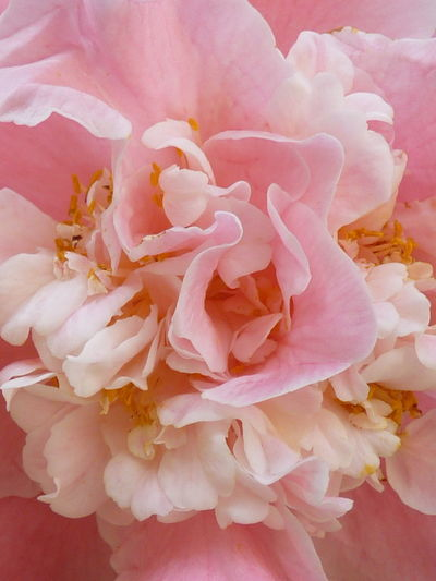 Camellia Camellia Beauty In Nature Blossom Botany Bouquet Bunch Of Flowers Camellia Flower Camellia Flowers Close-up Flower Flower Arrangement Flower Head Flowering Plant Fragility Freshness Growth Inflorescence Nature No People Outdoors Peony  Petal Pink Color Plant Pollen Rosé Softness Vulnerability