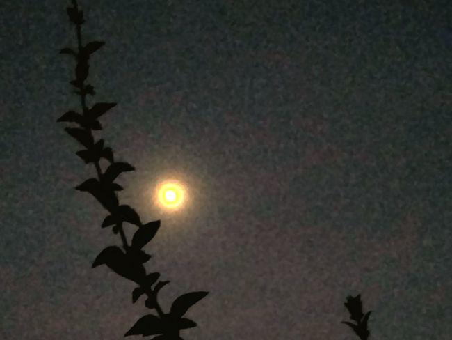 Yellow moon 🎑 Black Foreground Plant Leaves Moon Moonlight Sunset Moonrise Night Nightphotography Black Background Astronomy Moon Sun Sky Full Moon Growing