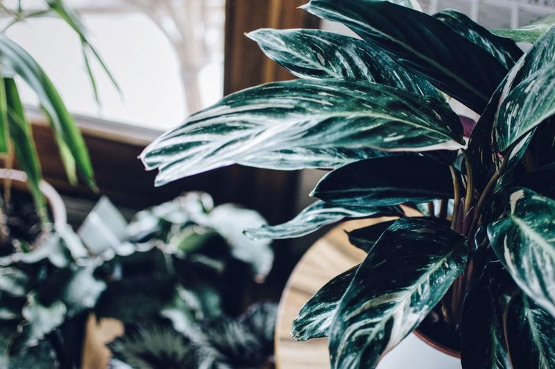 🌿 Green Plant Urban Jungle Plants Greenery Home Sweet Home Home Is Where The Art Is Home Interior Plant Decoration Greenery Scenery Calathea