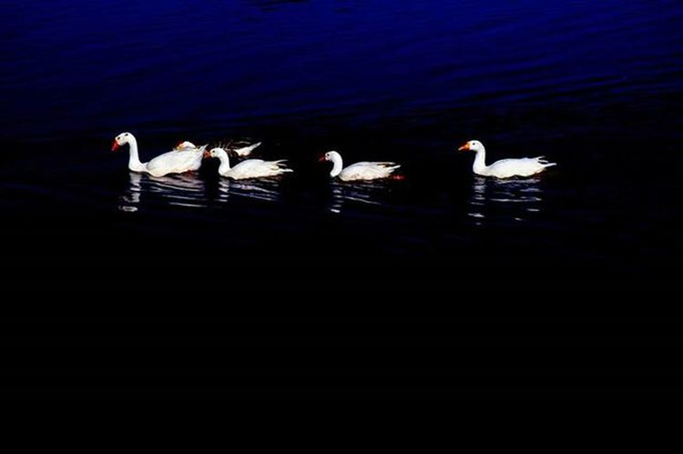 awayyy... Duck Bird Birdphotography Lake India Jammu Amazing Amaturephotography Contrast Watchthisinstagood Water Reflection Shadow Like4like Like4like L4l Comment Comment4comment Commentforcomment Followforfollow Followback Follow Followme Aperturemuj Wallpaper edit river reflection blue follow @verma968 for more