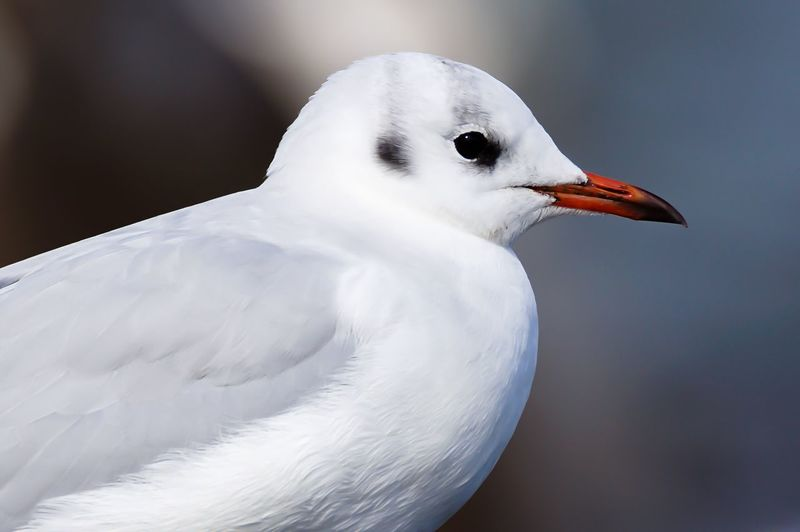 Lachmöwe Bird Focus On Foreground Beauty In Nature One Animal Close-up Animals In The Wild Water Bird Wildlife Beauty In Nature Baltic Sea Animals In The Wild Flensburger Förde Germany Ostsee Gull Animal Themes