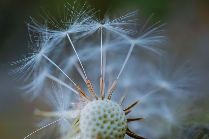 The abstract beautiful dandelion flower plant