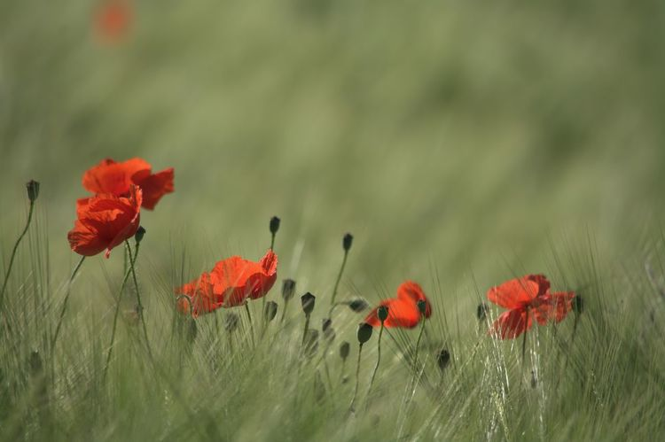 Poppies in the field Poppy Poppies In Cereal Field Poppies Field Flower Red Outdoors Uncultivated Beauty In Nature So Wonderful Flowers Enjoy The Nature Nature Capture The Moment Love The Nature EyeEm Gallery Wonder Of Nature Nature Collection Eyeem4photography Nikon_photography So Beautiful View Nikon_photography_ Hello World Baden Austria Perfect Shot Enjoying The Moment Wonderful Nature The Great Outdoors - 2017 EyeEm Awards Be. Ready. EyeEmNewHere EyeEm Ready   Colour Your Horizn Summer Exploratorium 10 The Great Outdoors - 2018 EyeEm Awards