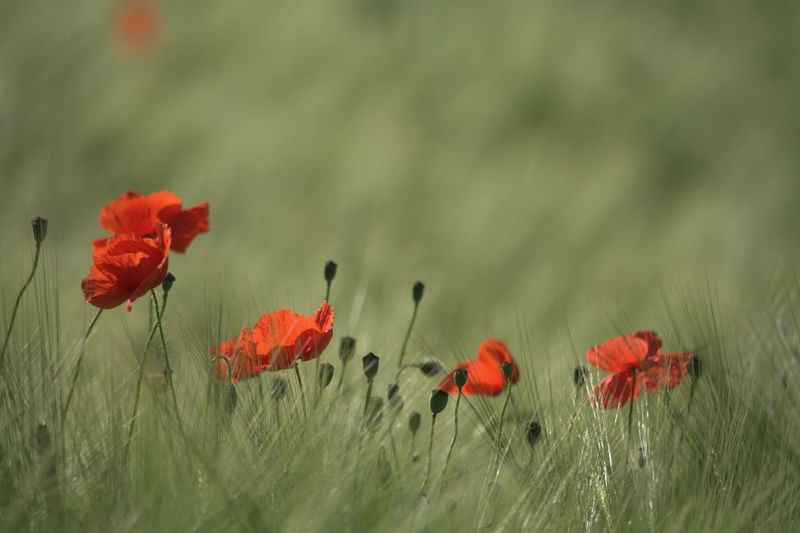 Poppies in the field Poppy Poppies In Cereal Field Poppies Field Flower Red Outdoors Uncultivated Beauty In Nature So Wonderful Flowers Enjoy The Nature Nature Capture The Moment Love The Nature EyeEm Gallery Wonder Of Nature Nature Collection Eyeem4photography Nikon_photography So Beautiful View Nikon_photography_ Hello World Baden Austria Perfect Shot Enjoying The Moment Wonderful Nature The Great Outdoors - 2017 EyeEm Awards Be. Ready. EyeEmNewHere EyeEm Ready   Colour Your Horizn Summer Exploratorium 10 The Great Outdoors - 2018 EyeEm Awards Capture Tomorrow A New Perspective On Life Moments Of Happiness My Best Photo