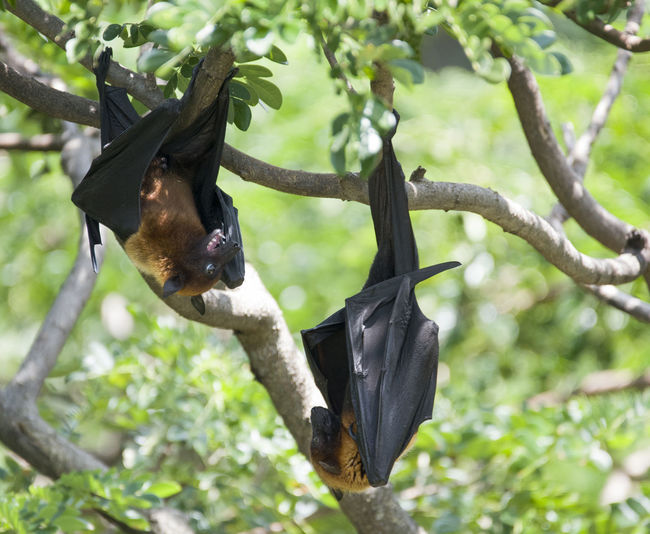 Foxbats in Thailand ASIA Bat Thailand Animal Themes Animal Wildlife Animals In The Wild Bat - Animal Black Color Branch Close-up Day Focus On Foreground Fox Fox Bat Foxbat Green Color Hanging Leaf Low Angle View Mammal Nature No People Outdoors Tree