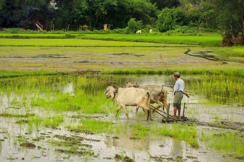 life Rice Paddy