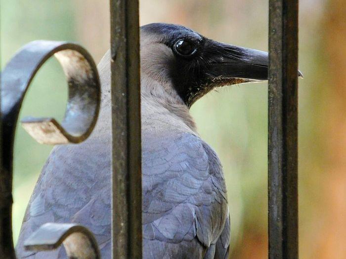 Close-up of crow seen through railing