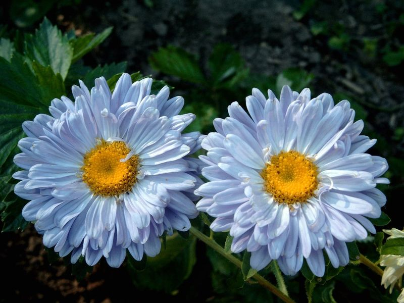 Twins Beauty In Nature Blooming Close-up Flower Flower Head Fragility Growth Nature No People Outdoors Plant EyeEmNewHere