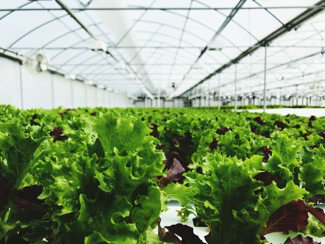 Greenhouse Growth Plant Agriculture Plant Nursery Vegetable Botany Indoors  Nature Leaf Food And Drink Green Color Red Bell Pepper Genetic Modification No People Day Lettuce Horticulture Freshness Healthy Eating
