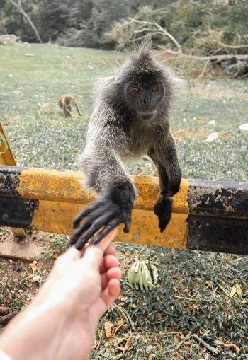 Malaysia Kuala Selangor Monkey Hand One Animal Hand One Animal Animal Wildlife Animals In The Wild Nature Feeding  Hand One Animal Hand One Animal Animal Wildlife Animals In The Wild Nature Feeding  Primate Nature