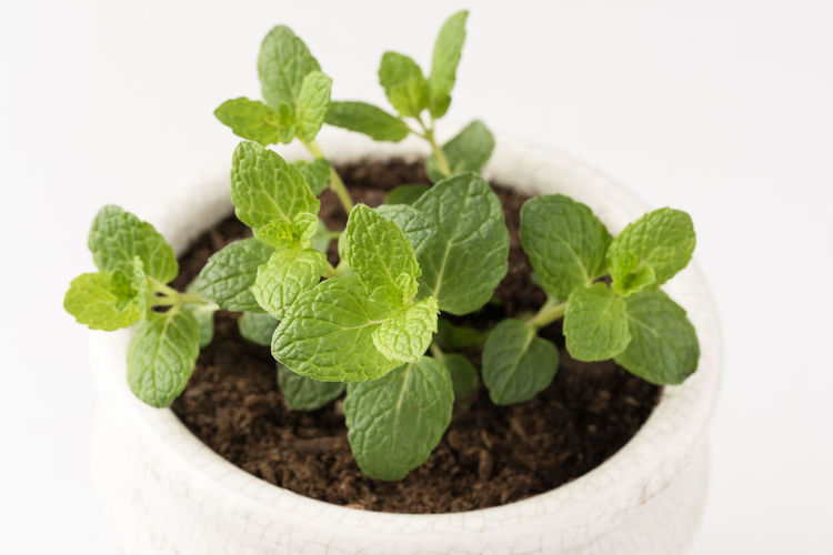 Mint plant Mint Mentha Plant Herb Potted Plant Potted Green Greenery Food Lamiaceae Mint Leaf - Culinary Leaf White Background Close-up Spice Ingredient Flower Pot No People Perennial