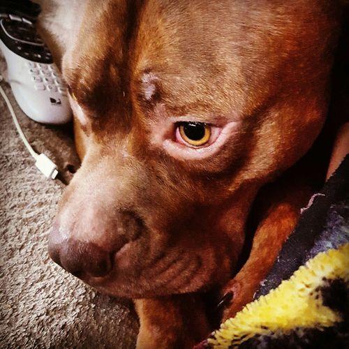 Sampson:) American Bulldog 2015