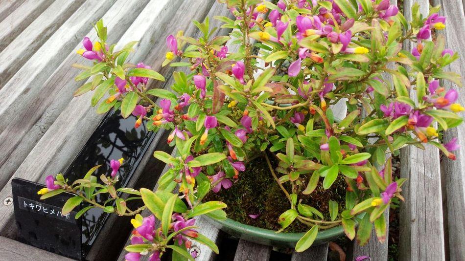 トキワヒメハギ Flowers Parks Bonsai