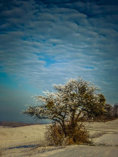 Mistletoe tree in sunny winter landscape Baum Im Winterzeit Beauty In Nature Mistelbaum Mistletoe In Tree Nature Sunshine On Tree Tree Tree In Snow Winter In The Rureifel