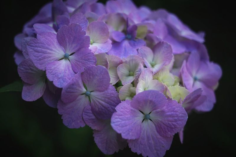 Quintaflower Flower Flower Head Beauty In Nature Nature Agisai Flower Collection Japan Beauty In Nature Flowers