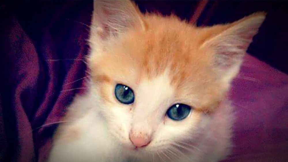 Kittenlove Beauty BlueEyes Orangeandwhite Domestic Animals Catlifestyle Pets Hannahbanana Cutenessoverload Beautifulcat