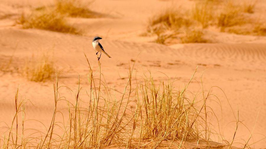 Sand bird Desert Bird