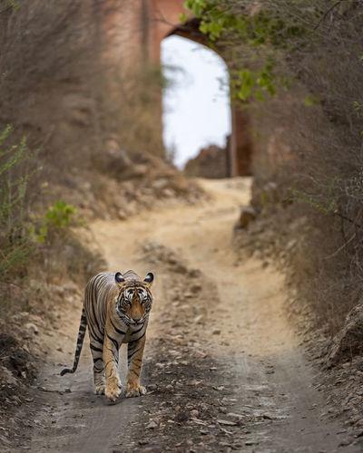Cat walking on dirt road