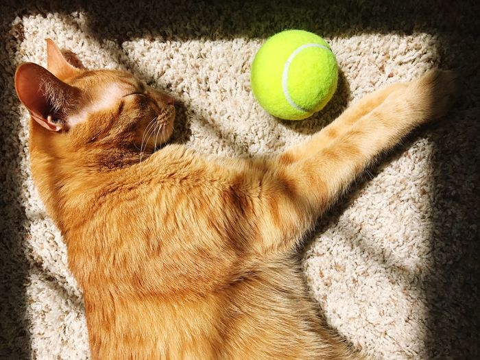 Cats Of EyeEm Pet Photography  Napping Cat Yellow Cat Tennis Ball Tennis Sport Ball Animal Hair Pets Domestic Animals Racket Sport No People Indoors  Court Mammal Day Pet Portraits