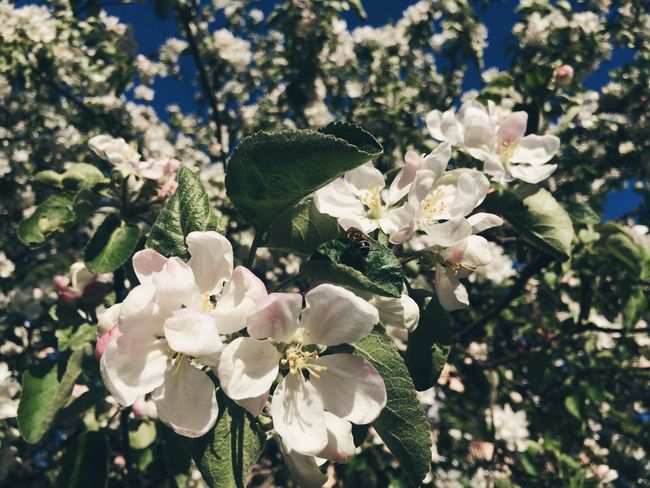 Лето пришло вроде как Flower Springtime Summertime White Color Nature Apple Blossom Beauty In Nature Tree No People Saint Petersburg VSCO Vscocam Vscoflowers Russia Spb Summer Sky Sunlight