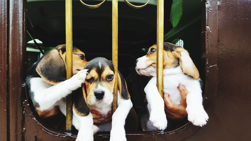 doggie days Puppies Dogs Of EyeEm Pet Pets Trapped Dog Cage Looking At Camera Beagle Animal Eye Purebred Dog
