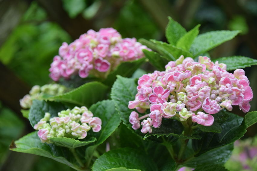 After rain Beauty In Nature Blooming Blossom Bunch Of Flowers Close-up Day Flower Flower Head Focus On Foreground Fragility Freshness Green Green Color Growing Growth Hydrangeas In Bloom Leaf Nature No People Outdoors Petal Pink Color Plant Selective Focus