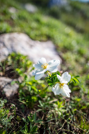 Beauty In Nature Close-up Day Field Flower Flower Head Flowering Plant Focus On Foreground Fragility Freshness Growth Inflorescence Land Nature No People Outdoors Petal Plant Selective Focus Springtime Vulnerability  White Color