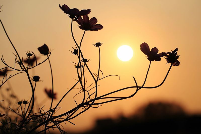 Low angle view of silhouette plants against sky during sunset