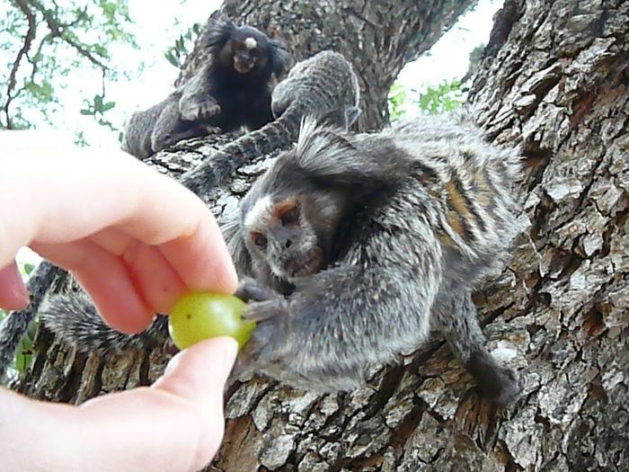 Makaken Brasil Park Human Hand Pets Tree Child Holding Close-up Feeding