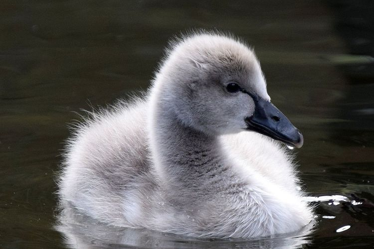 Close-Up Of Cygnet Swimming With Reflection In Lake