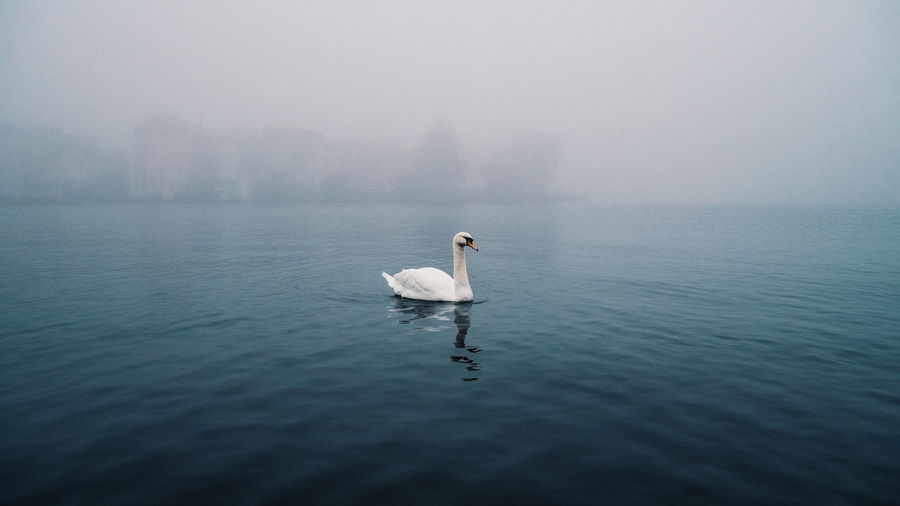 | Foggy Moods Misty Animal Themes Animals In The Wild Bird First Eyeem Photo Fog Lake Mist Nature One Animal Swan Tranquility Water Waterfront