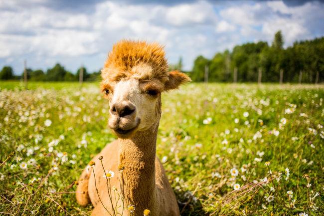Alpaca FUNNY ANIMALS Farm Farm Life Field Funny Sunny Alpacas Charming Curious Cute Cute Animals Farm Animal Friendly Funny Anımals Green Grass Meadow Pet Animal Pretty Summer