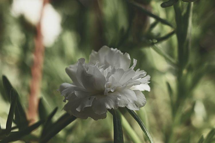 Lonely Mossrose NikonD3400 Nikonmalaysia Nikonphotography Flower Gardening Flower Head Flower Petal Close-up Plant