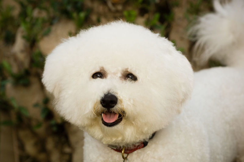 Bichon dog portrait Bichon Frise Dog Toy Dog Group Animal Themes Bichon Bichon Frise Close-up Day Dog Domestic Animals Looking At Camera Mammal No People Non-sporting One Animal Outdoors Pets White Color