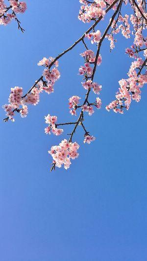 桜 Flowers IPhoneography IPhone Photography 空 Skyporn 桜 EyeEm Best Shots Sky_collection Flowerporn