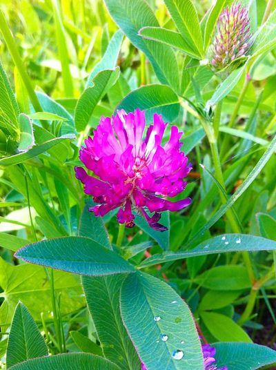 Ozersk Flower