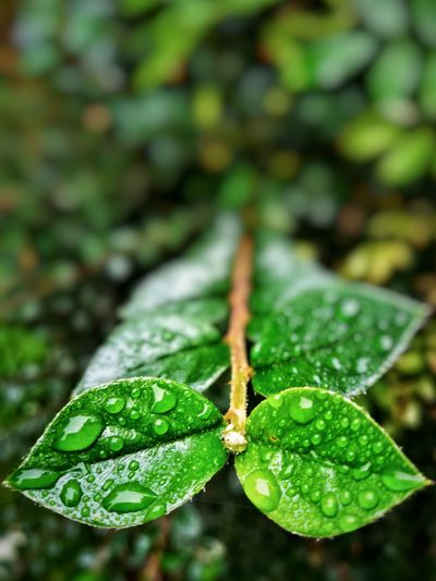 Leaf Green Color Water Nature Growth Close-up Beauty In Nature Outdoors Day No People Freshness Fragility Plant EyeEm Selects EyeEm Best Shots P10 Plus Photography Plant Huawei Photography Snapseed Bokeh Depth Of Field Droplet