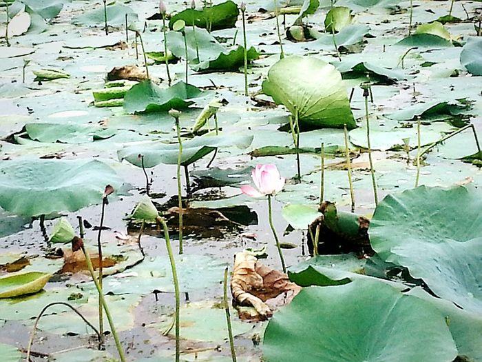 RePicture Growth Lotusflower Lotus Seedpod Lotusleaf Eye4photography  EyeEm Nature Lover Buds Sprouting