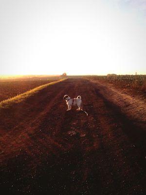 Pug Dog Walking Puppy