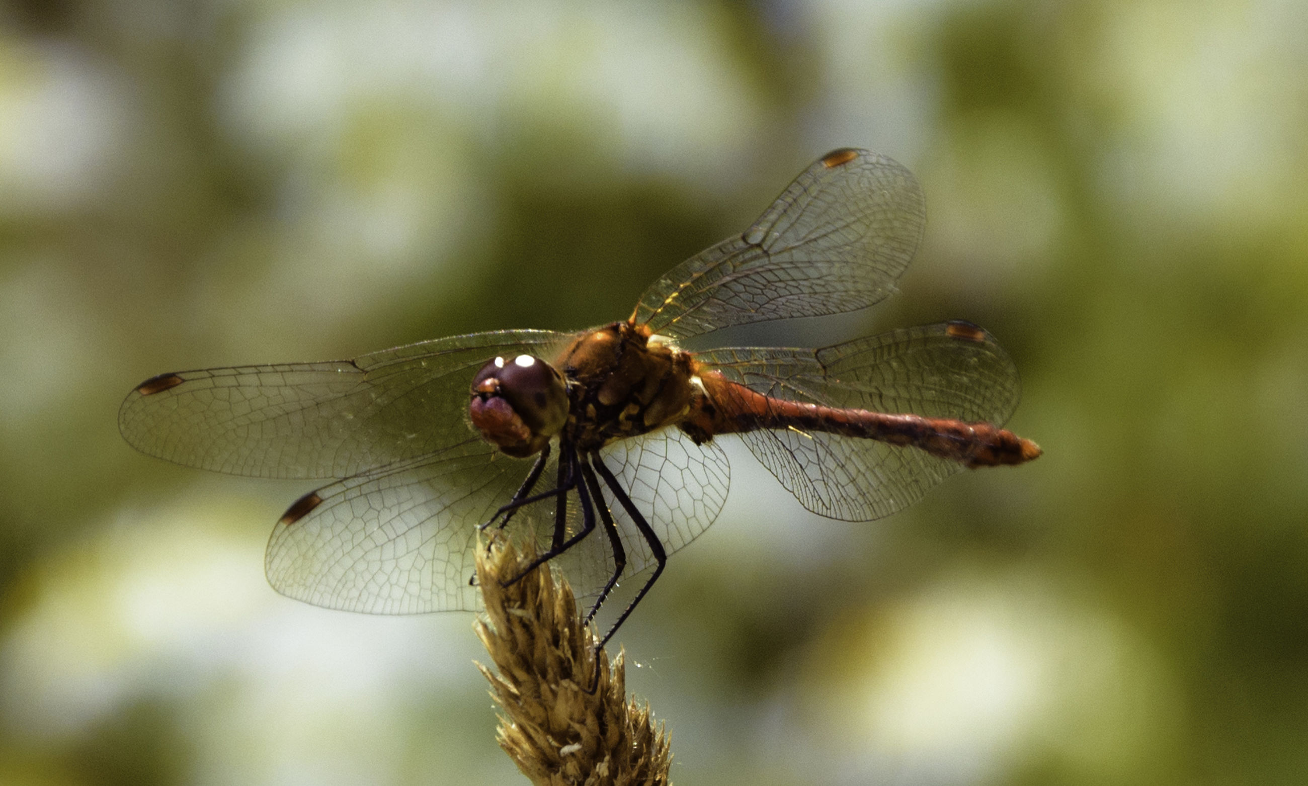 CLOSE-UP OF DRAGONFLY ON PLANT OUTDOORS